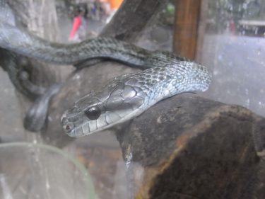 蛇はペットとして飼育が容易で比較的大型の種類も人気があります