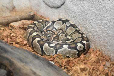 蛇は同じ種でもペット用に様々な色柄が作られ値段も異なります