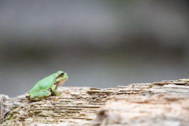猫目が魅力のソバージュネコメガエルの生態と飼育方法