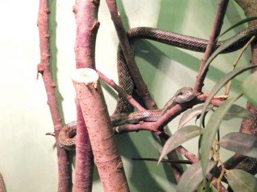 蛇をペットとして飼育する場合の基本的な餌はマウスです