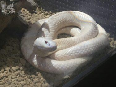 蛇は清潔で世話の頻度が少なくペットとして飼える種類も豊富です